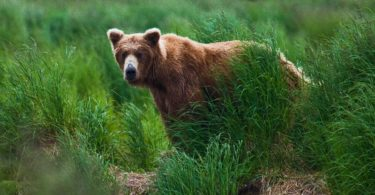 Grizly Bear at Katmai National Park